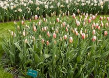 Tulips called the white pearl blooming in the Keukenhof garden in Lisse, Holland, Netherlands stock image
