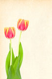 Tulips with cardboard Stock Images
