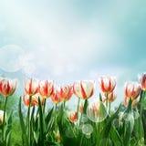 Tulips Carnival de Rio Stock Images