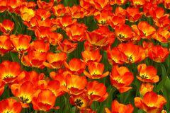 Tulips carpet Royalty Free Stock Photo