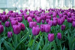 Tulips in the Central Park of culture and recreation in St. Petersburg. In the Central Park of culture and recreation of St. Petersburg have grown beautiful royalty free stock images