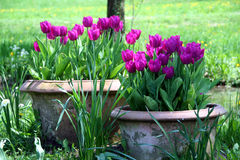 Tulips in the ceramics pot. Tulips are beautiful springtime flowers. Pot the bulbs in the terracota or ceramics pot early in the springtime for evenly flowering Royalty Free Stock Photos