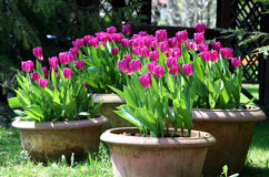 Tulips in the ceramics pot Stock Photo
