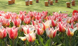 Tulips and cheese. Red and white tulips and simil edamer cheese in the background on grass carpet Royalty Free Stock Image