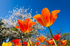 Tulips and cherry blossom trees on sunny spring day Stock Photo