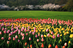 Tulips and cherry blossoms Royalty Free Stock Image