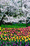 Tulips and cherry Stock Photography