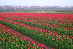 Tulips and cherry tree Stock Images