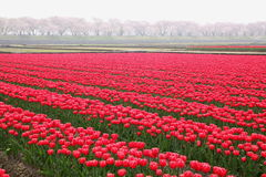 Tulips and cherry tree Royalty Free Stock Image