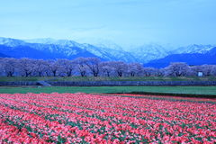 Tulips and cherry tree at daybreak. Tulips and cherry tree and The Japan Alps at daybreak Royalty Free Stock Photo