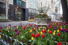 Tulips in Chicago Stock Photos