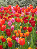 Tulips in Chicago Royalty Free Stock Photo