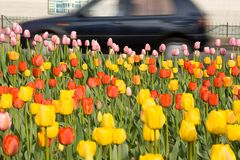 Tulips on the city. Spring field of tulips on the city stock photography