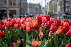 Tulips in the city Stock Photos