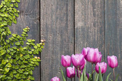 Tulips and wood wall Royalty Free Stock Image