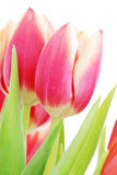 Tulips close up Stock Images