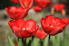 Tulips close-up Stock Photography