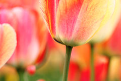 Tulips close-up. Bright, colorful tulips close up. Shallow DOF royalty free stock photo