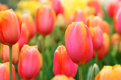 Tulips close-up royalty free stock image