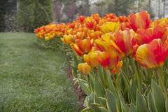 Tulips close up Royalty Free Stock Image