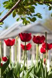 Tulips close up. Blurred background. juicy colors. royalty free stock photos