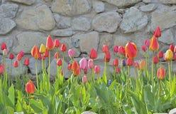 Tulips 3 Stock Image