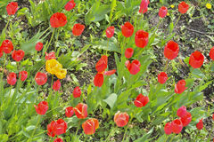 Tulips 4 Royalty Free Stock Images