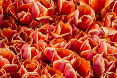 Tulips close up Royalty Free Stock Images