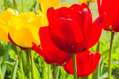 Tulips close-up in the spring garden, backlit Royalty Free Stock Photos