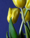 Tulips closeup. Yellow tulips on blue, Macro royalty free stock photo