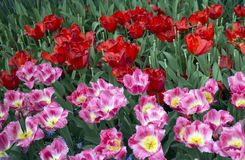 Tulips closeup Royalty Free Stock Photo