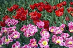 Tulips closeup Royalty Free Stock Photo