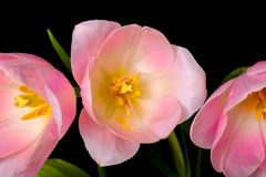 Tulips Closeup Royalty Free Stock Images