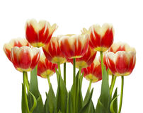 Tulips closeup on a white background in soft focus Stock Images