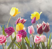 Tulips on a cloudy background Stock Photo