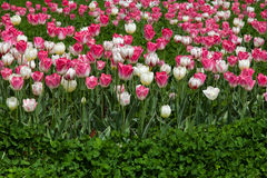 Tulips and clover. A flower bed of tulips growing in clover Stock Photos