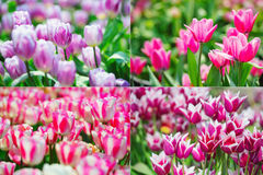 Tulips collage Stock Photos