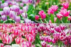 Tulips collage Stock Photos
