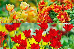 Tulips collage Royalty Free Stock Photography