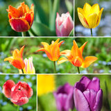 Tulips collage Stock Images