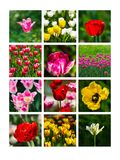 Tulips Collage Royalty Free Stock Photo
