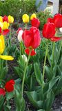 Flower Bed of Tulips in red and yellow color in Spring Stock Photos