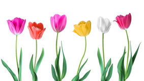 Tulips. Color vector tulips isolated on white background. Flowers in different shapes for your design and greetings. Postcards card for your loved ones Stock Photography