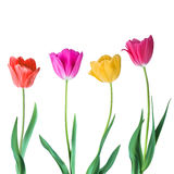 Tulips. Color vector tulips isolated on white background. Flowers in different shapes for your design and greetings. Postcards card for your loved ones Stock Photos