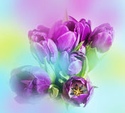 Tulips and colored background Stock Photography