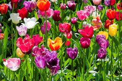 Tulips colored phosphorescing  by the sun Royalty Free Stock Images