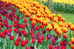 Colorful tulips field Royalty Free Stock Photography