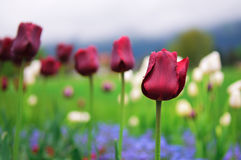 Tulips and colorful spring flowers. In Interlaken, Switzerland stock images