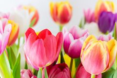Tulips colorful spring flowers pink red yellow and green royalty free stock images