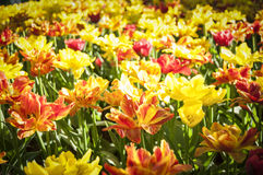 Tulips colorfull spring Stock Photos